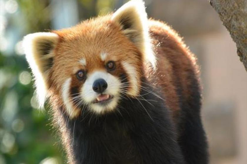 """隨著""""千葉動物公園門票""""◆去動物公園♪免費停車和自助早餐"""