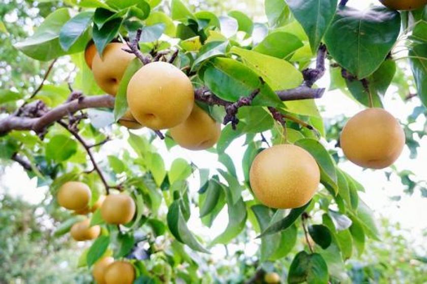 【秋の味覚】美味しい梨をご自宅や職場のお土産に!フルーツ直送(送料別)プラン〇朝食バイキング付